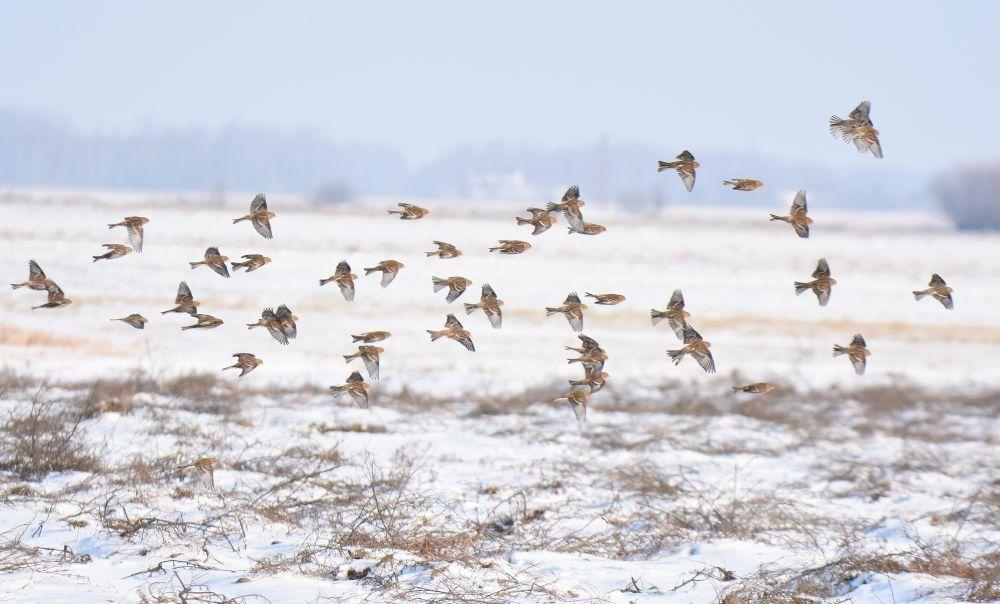 Ptaki zimujące terenów otwartych 19.01.2020