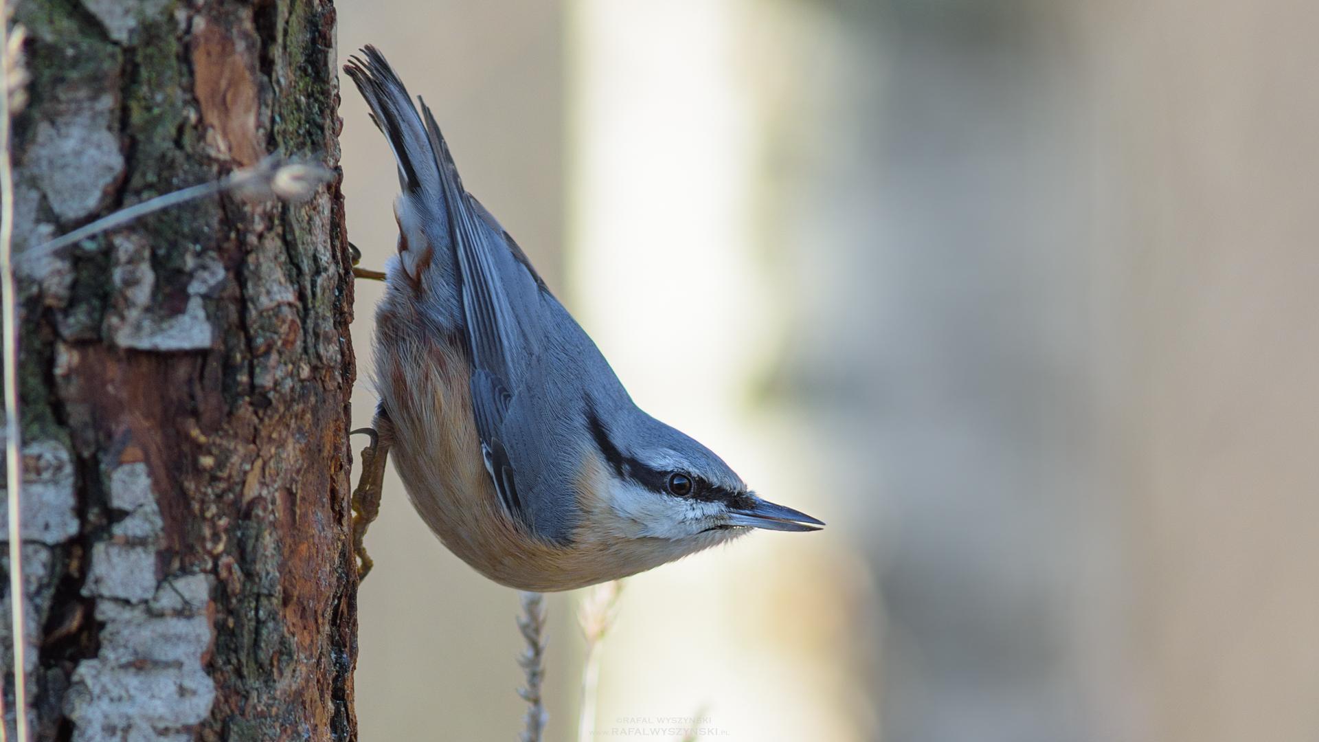 Nauka rozpoznawania ptasich głosów – zapowiedź